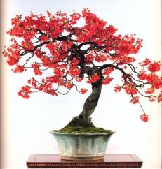 Hikan zakura (japanese cherry) 80 anos - 70cm