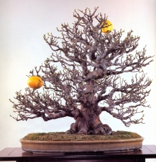 Chinese quince - 120 anos - 68cm