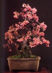Hikan zakura - 82 anos - 120 cm