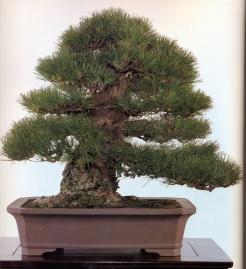 Japanese black pine - 250 anos - 67cm