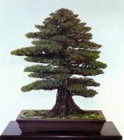 Needle juniper - 250 anos - 83cm