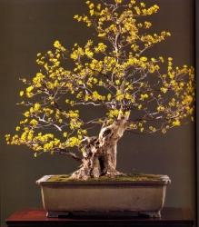 Sanshuyu - 80 anos - 75cm