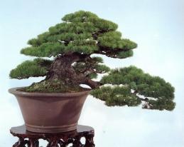 Japanese white pine - 200 anos - 45cm