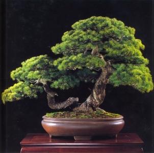 Japanese white pine - 200 anos - 63cm