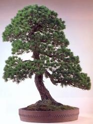 Japanese White Pine (120 anos- 97cm)