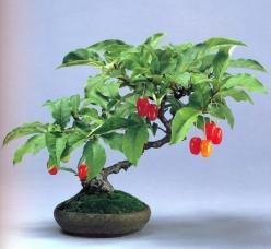 Eleagnus multiflora (39 anos- 19cm)