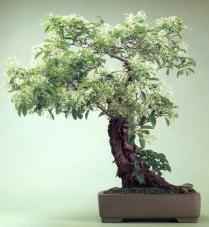 Chionanthus retusus (120anos-90cm)
