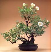 Rosa laevigata (60anos-55cm)
