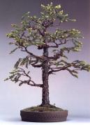 Picea polita (120 anos-85cm)