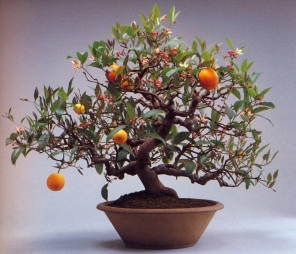Orange citrus (50anos-57cm)