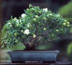 Punica granatum (45anos-30cm)