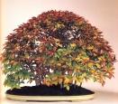 Fagus crenata (4anos-73cm)