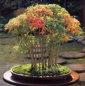 Acer buergerianum ( 50 anos-90cm)
