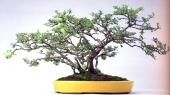 Chaenomeles japonica ( 30 anos- 33cm)