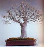 Zelkoka serrata (80anos-95cm)