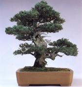 Juniperus rigida (150 anos - 50cm)
