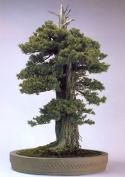 Juniperus rigida ( 120 anos- 94cm)