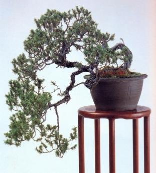 Needle juniper (90anos-45cm)