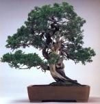 Juniperus chinensis (80 anos-58cm)