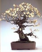 Prunus mune (100 anos- 74cm)