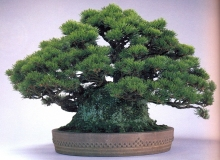 Japanese black pine ( 120 anos- 37cm)