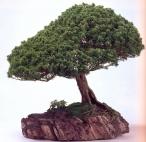 Japanese white pine (80anos-70cm)