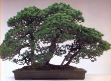 Japanese white pine (100 anos- 61cm)