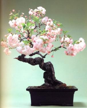 Sato cherry (60 anos- 61cm)