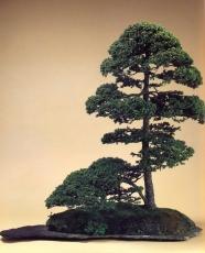 Picea glehnii (35 anos- 30cm)