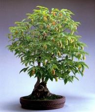 Carpinus japonica Blume - (80anos-72cm)