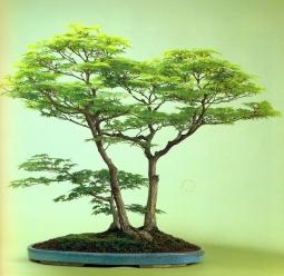 Hinauchiwa kaede - (70 anos- 72cm)