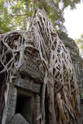 ka_tree_roots_taprohm