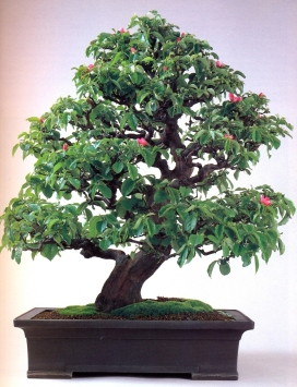 Chineses quince (70 anos-75cm)