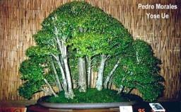 Neca Buxifolia P.M