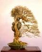 Acer buergerianum - 65 anos - 80cm