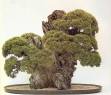 Chinese juniper - 25 anos - 60cm