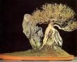 Acer buergerianum - 45 anos - 40cm
