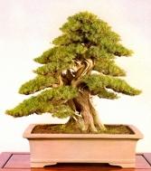 Needle juniper - 200 anos - 70cm