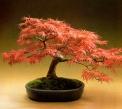 Acer palmatum dissectum - 40 anos - 45cm