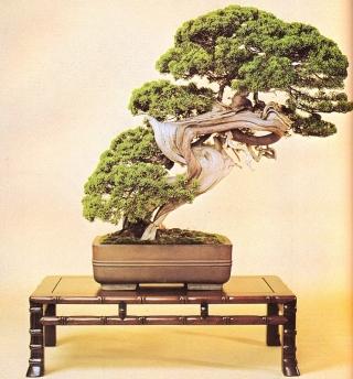 Chinese juniper - 250 anos - 85cm