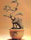 Ulmus parviflora - 45 anos - 45 cm
