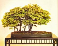 Acer palmatum - 35 anos - 50cm
