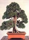 Chinese juniper - 180 anos - 77cm