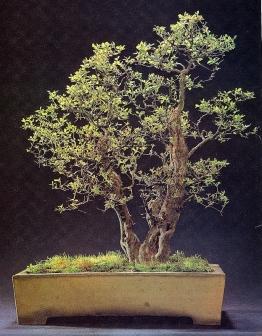Sageretia thesans - 55 anos - 45cm