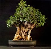 Ficus retusa - 100 anos - 70cm