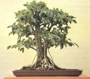 Ficus benjamina - 15 anos - 45cm