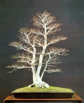 Fagus crenata - 65 anos - 85cm