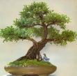 Ficus benjamina - 45 anos - 97cm - Coleção do mestre Pin Kewpaisal de Bangkok.