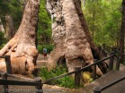 The Giant Tingle Tree is located in Walpole-Nornalup National Pa