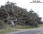 27-wind shaped trees near Invercargill